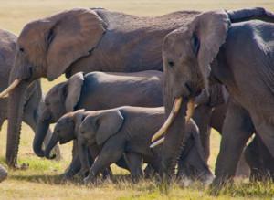 Elephants-Family