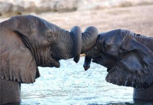 Elephants-trunk
